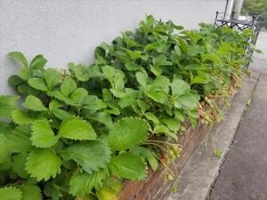 180509 花壇いちご2_R